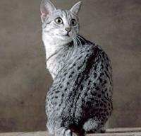 Saviez-vous que les chats ont une mission dans notre vie? EgyptianMau